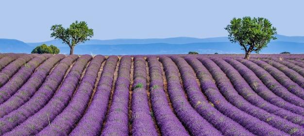 自然の中で美しいラベンダー畑