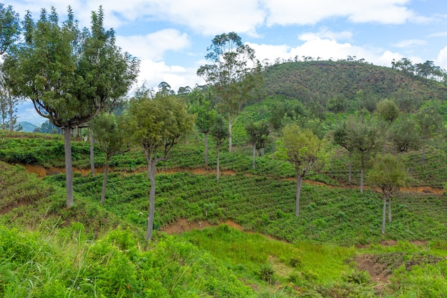 Picturesque natural landscape. green tea plantations in the highlands. growing tea.
