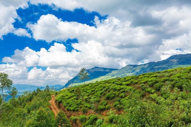 그림 같은 자연 풍경입니다. 고지대에 있는 녹차 농장. 성장하는 차