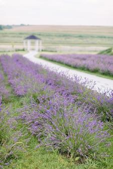 Живописный вид на природу летнего поля с цветущими цветами лаванды. дорога среди лавандовых рядов и размытая деревянная беседка на заднем плане. вертикальный выстрел