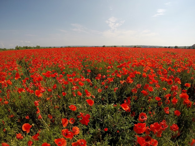 Picturesque scene. close up fresh, red flowers poppy on the green field, in the sunlight. majestic rural landscape.