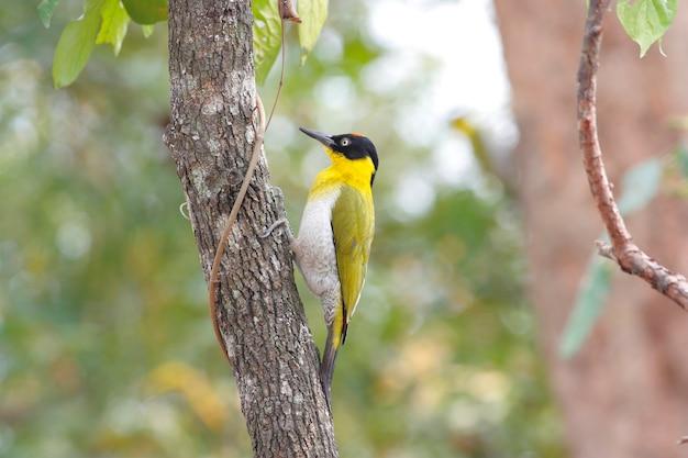 キツツキpicus erythropygiusタイの美しい鳥
