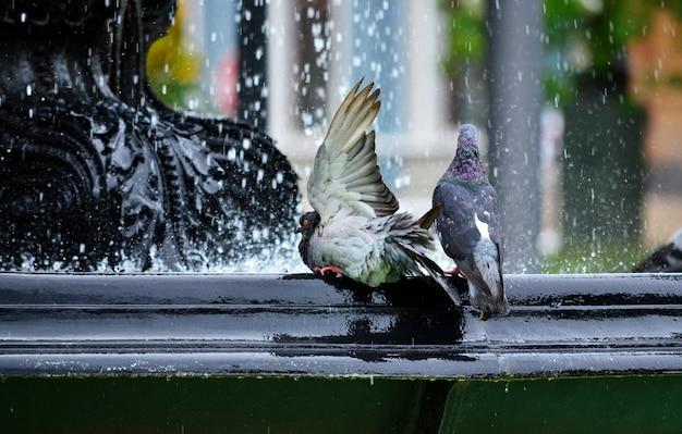 Pidgeon having a bath in a fountain