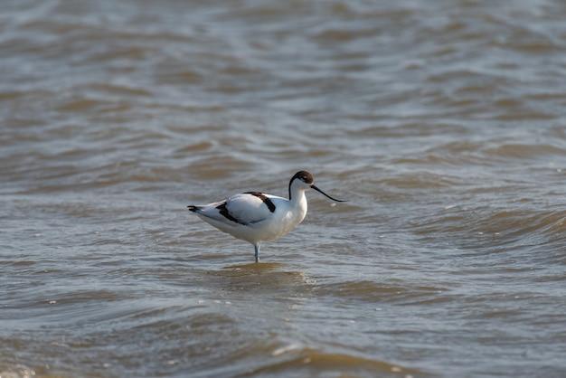 Pied avocet recurvirostra avosetta는 물 속에 서 있습니다.
