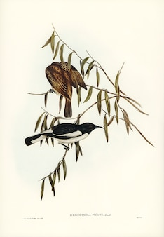 Pied honey-eater (melicophila picata) illustrated by elizabeth gould