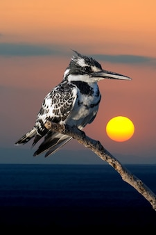 Pied kingfisher on branch in kenya, africa