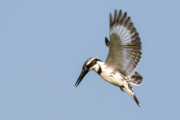 Pied kingfisher hovering in flight on sky