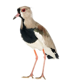 マダラゲリ、vanellus cayanus、ホワイトスペースに対するマダラゲリとしても知られています