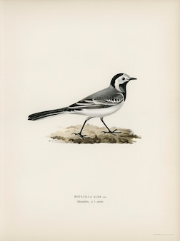 Pied wagtai male  (motacilla alba) illustrated by the von wright brothers.