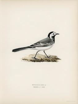 フォンライトの兄弟によって描かれたpied wagtai male(motacilla alba)。