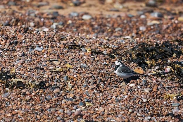 Pied wagtail (motacilla alba)