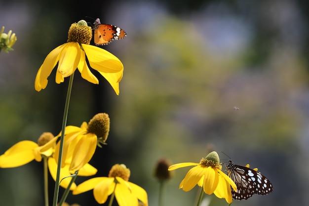蝶pieridae家畜野生生物青と白カラフルな餌の蜜