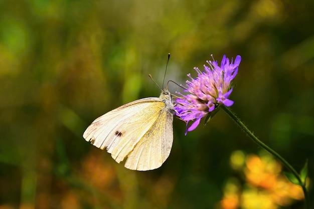 花の上に美しい蝶。ナチュラルカラフルな背景。 (pieris brassicae)