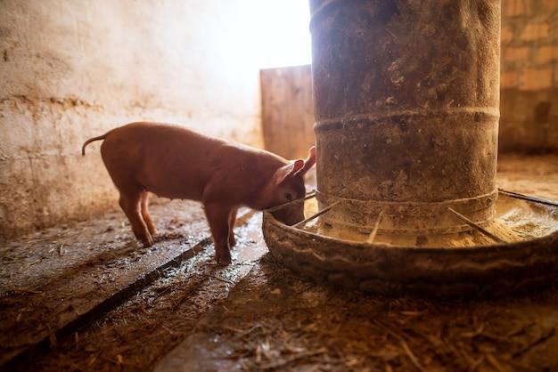 豚舎で豚。養豚場。動物農場で豚のグループ。豚の給餌。