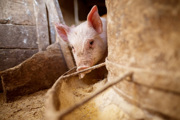 Свинья в свинарнике.