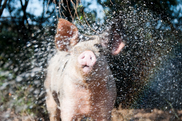 Pig being sprayed with water