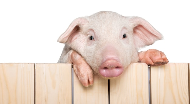 Pig hanging from a wooden fence