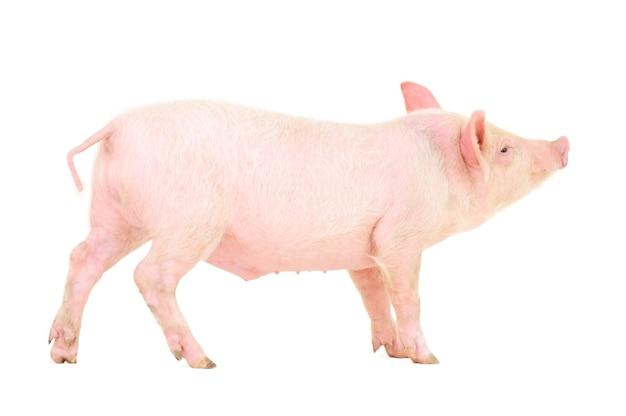 Свинья, изолированные на белом фоне