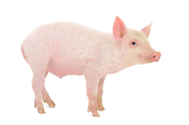 Свинья изолирована