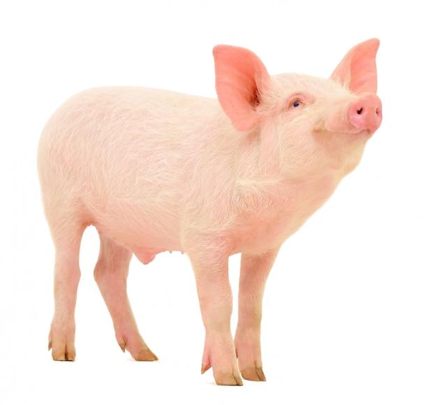 고립 된 돼지
