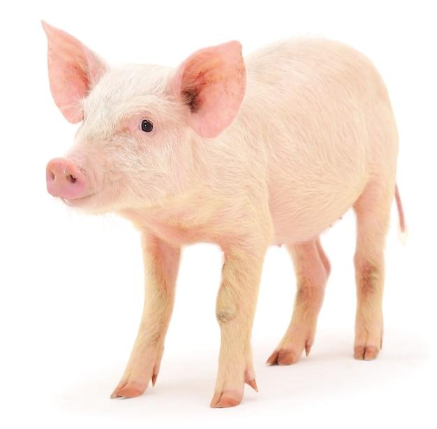 Свинья на белом