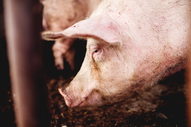 Pig at pigsty.