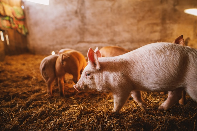 豚舎で遊ぶ豚