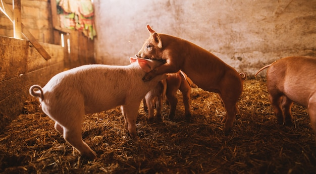 Pig playing in a pigsty