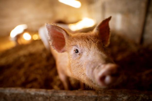 豚舎で豚の肖像画。