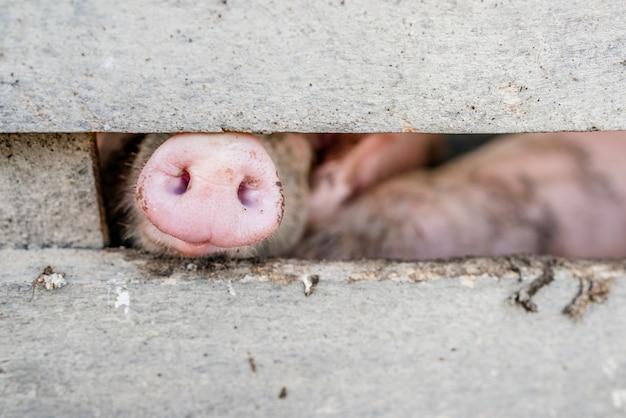 돼지의 코. 울타리를 통해 돼지 주둥이의 클로즈업