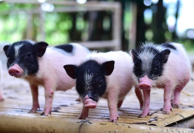 豚の小さな体の矮小の豚のミニチュア