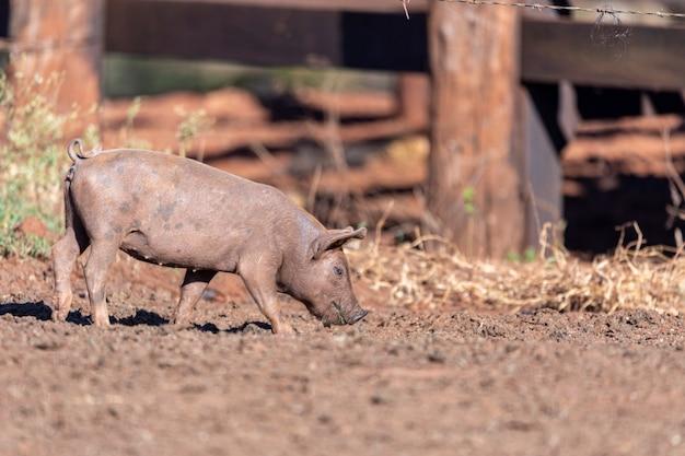 農場の牧草地を歩く豚