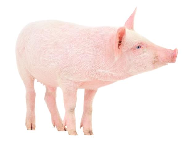 白い背景で表される豚