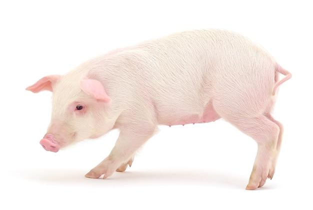 Свинья, которая представлена на белом фоне