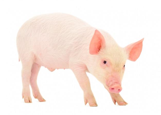 Свинья, которая представлена на белом изолированном