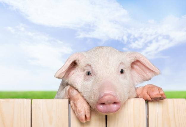 보드와 함께 돼지입니다.