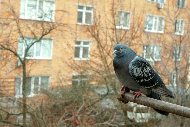 鳩は市の住宅地のバルコニーに座っています。閉じる。