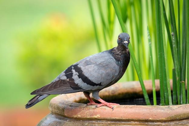 Pigeon. bird. animals.