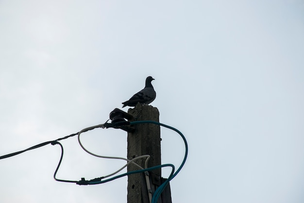 Pigeon bird on electric pole and sky cloud