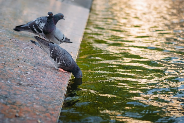 Pigeon dipping his head in the water