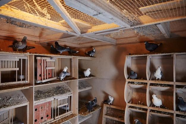 Голубиная ферма с голубями и деревянными клетками