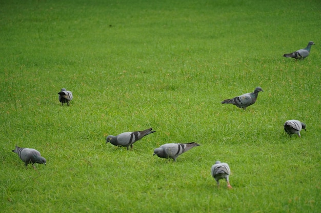 Pigeon in green grass image