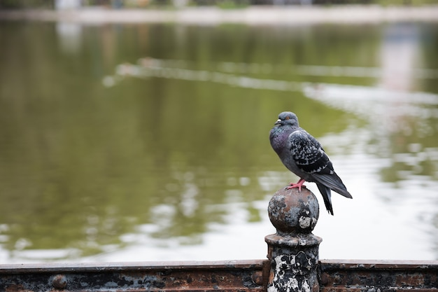A pigeon is sitting on an iron fence opposite the park lake
