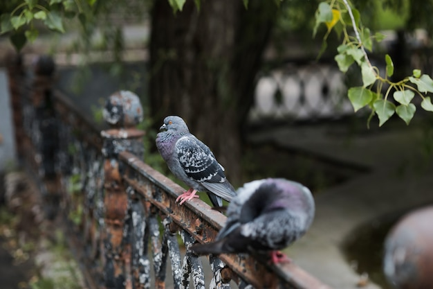 A pigeon is sitting on an iron fence under a tree between two birds