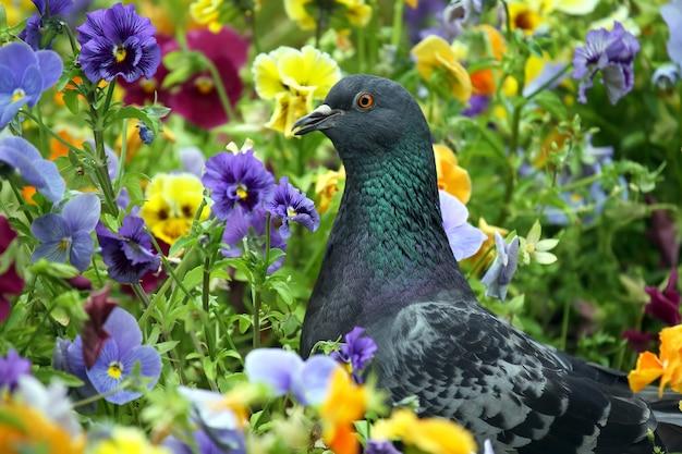 Pigeon looking for food in flowers pansies