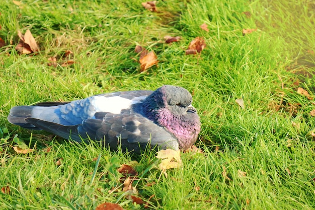 A pigeon lying and relaxing on the green grass with dry leaves of autumn.