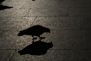Pigeon, oldtown