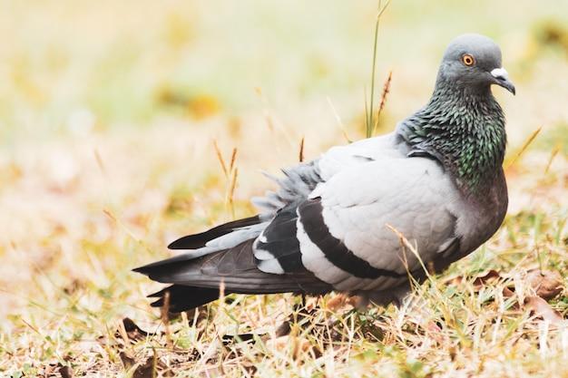 공원에서 잔디에 비둘기, 바위 비둘기, 비둘기의 초상화