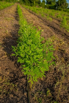 Pigeon pea crop farm field, pigeon pea beans vegetable on the plant with flower