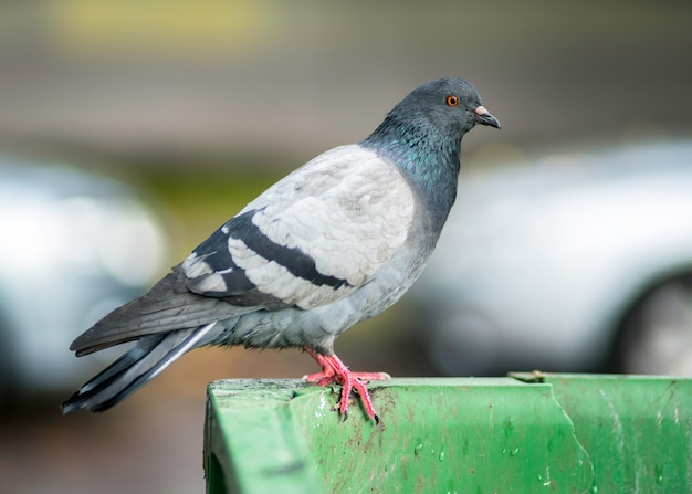 Pigeon on a rubbish bin outside in the city, health care issues caused by birds.